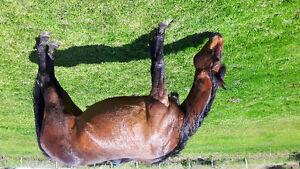 Quarter horse/Arabian mare