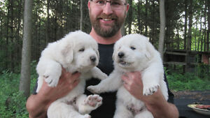 Great Pyrenees/Marema Pups for Sale