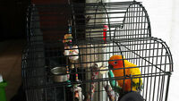Sun Conure Parrot  with cage $450 or best offer