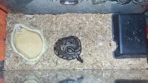 Female Ball Python with Tank