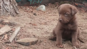 Beautiful Lab Chesapeake Puppies for Sale