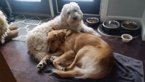 Looking for Male Golden Doodle