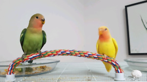 Young lovebirds
