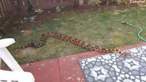 female red tail boa Kitchener / Waterloo Kitchener Area image 2