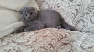 Pure Breed Blue Scottish Fold Male for Sale