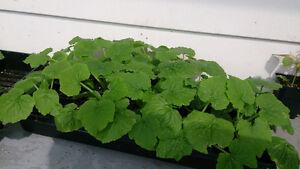 plants de légumes à vendre déjà acclimaté variétés rares