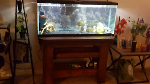 55 gallon fish tank with 3 pirhanas and HD Table