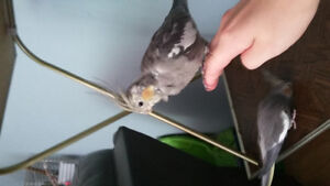 ONE BABY COCKATIEL FOR SALE