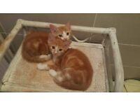 Ginger cross kittens