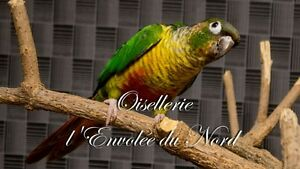 Conure Yellow Sided male