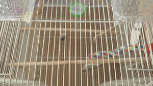 2 Zebra Finches - Everything you Need