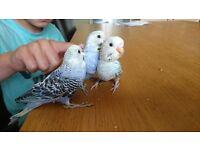 Fully tame budgies