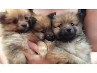 Beautiful Pomeranian pups!