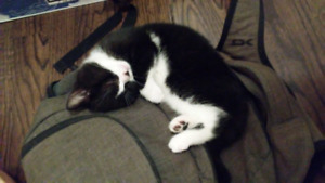 10 Week Old Female Kitten Looking For Her Forever Home