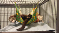 Two ferrets available with cage and accessories