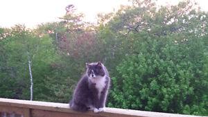 Lost cat Larry Utec area, Transom dr.