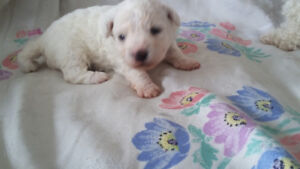 BICHON FRISE Female Puppy