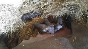 heritage piglets and pigs ducks for sale