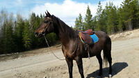Fast and Beautiful 10 year old Morgan cross Mare