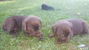 CHARCOAL CHOCOLATE AND BLACK LAB PUPS