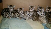 ~~ PURE BRED BEAUTIFUL BENGAL KITTENS FOR SALE ~~