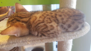 Pure bred paw print rosette bengal kittens