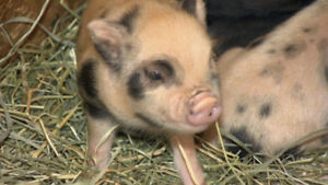 LOOKING FOR BABY OR RUNT POTBELLY PIG