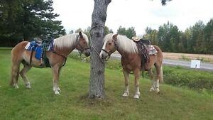 2 cheval haflinger a vendre..