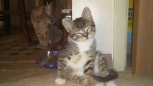 Sweet grey tabby female.