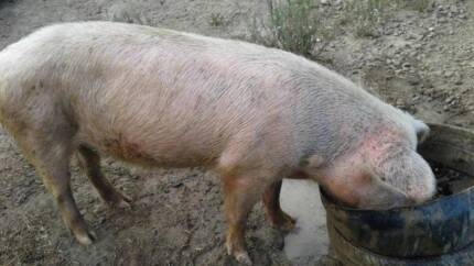 PIGS FOR SALE $100 EACH