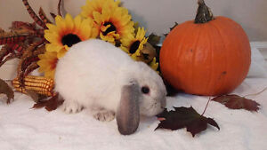 Adorable Holland lop bunnies Kitchener / Waterloo Kitchener Area image 5