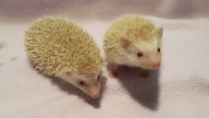 Baby Hedgehogs!!! Ready!!!