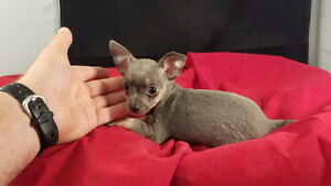 CHIHUAHUA PUPPIES, TEACUP, GREAT PRICE