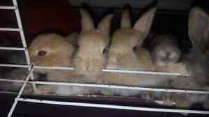 Selling Flemish giant/ Holland lop bunny mix