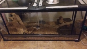 5 foot female ball python with tank
