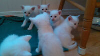 6 beaux chatons siamois cream point