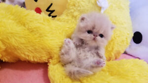 Cutie Pie Persian Kitten