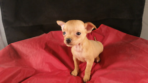 CHIHUAHUA PUPPIES,  TEACUPS,  READY NOW, GREAT PRICE