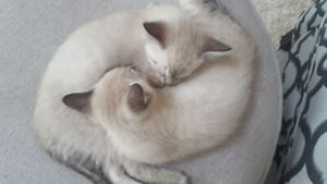 Siamese Adopt Cats Kittens Locally In Greater Vancouver Area