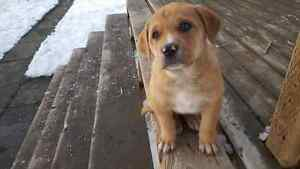 3/4 catahoula 1/4 great pyrenese puppies for sale