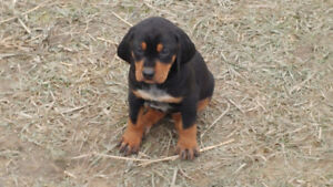 Very social sweetie UKC reg Black & Tan Female Health guarantee