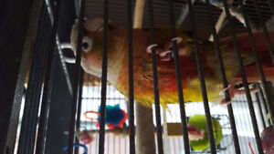 Conures and cage