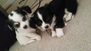 ❤Rare long haired pure bred Chihuahuas❤ Only 2 left