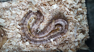Adult male corn snake and enclosure