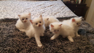 TICA reg ragdolls available
