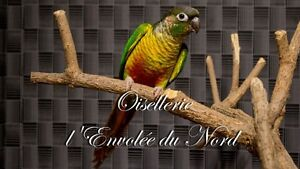 Conure Yellow Sided