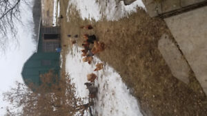 Sold pending Sunday 10month old Red sexlinc hens ready lay