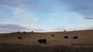 Bred Heifers 66 BLK bred Black Angus