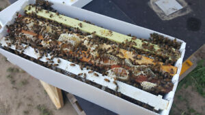 Honey bee nucs for sale- Reserve Yours Today