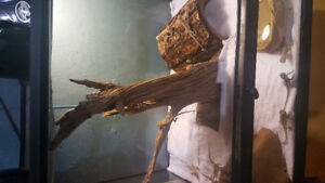 baby bearded dragons ready for new homes....